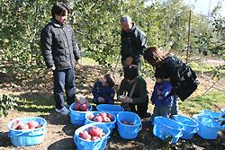 収穫されたリンゴでいっぱいのカゴ
