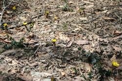 ジョバンニのすぐ横に咲くフクジュソウ