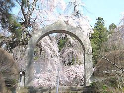 長谷寺のシダレ桜1