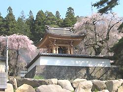 長谷寺のシダレ桜3