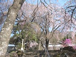 長谷寺のシダレ桜4