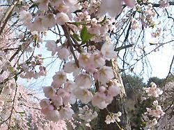 長谷寺のシダレ桜2