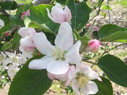 リンゴの花は白く可憐