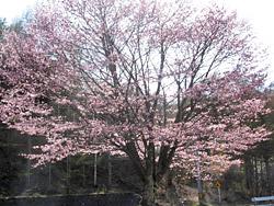 菅平ダムの桜1