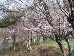 菅平ダムの桜2