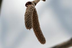 ツノハシバミの雄花2