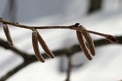 ツノハシバミの雄花1