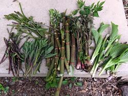 山菜、右からウルイ・ヤマウド・イタドリ・ハンゴンソウ・イケマその上がワラビ