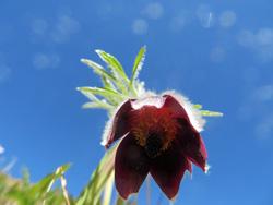オキナグサの花